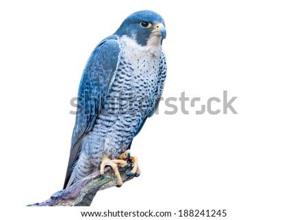 Grey hawk - isolated on white background - stock photo
