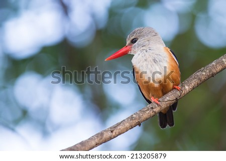 Grey-headed kingfisher sitting on a branch waiting for prey to fly by - stock photo