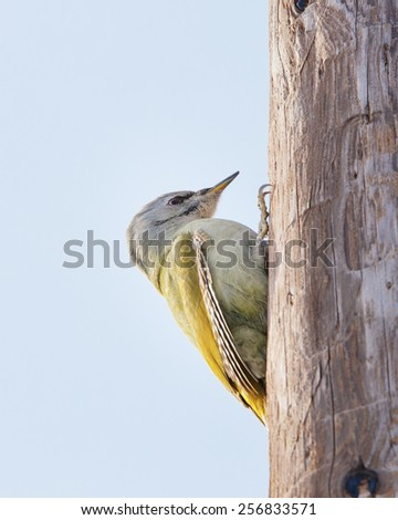 Grey-headed Woodpecker (Picus canus) - stock photo