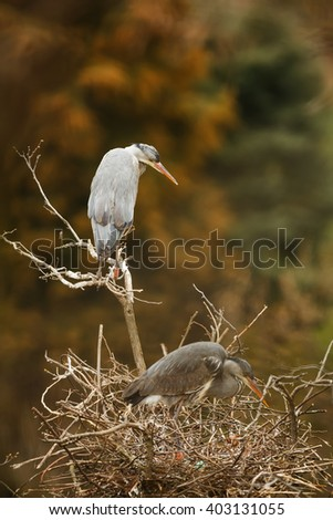 grey heron above nest - stock photo