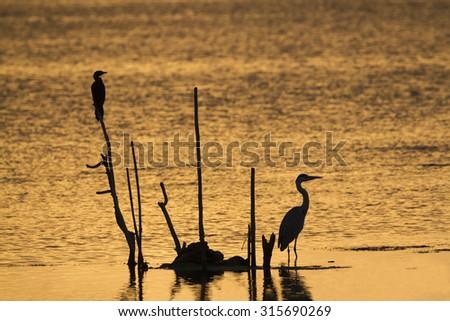 Grey heron and cormorant in backlit sunset, Arugam bay lagoon, Sri Lanka ; specie Ardea cinerea and Phalacrocorax niger in Pottuvil nature reserve - stock photo