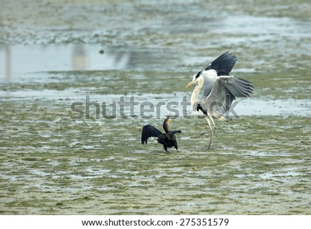 Grey Heron and Great Cormorant quarreling  - stock photo