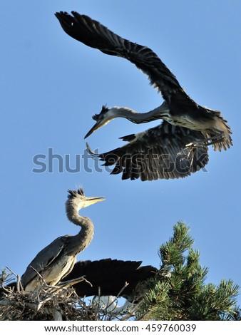 Grey Heron (Ardea cinerea) chick flies to the nest - stock photo