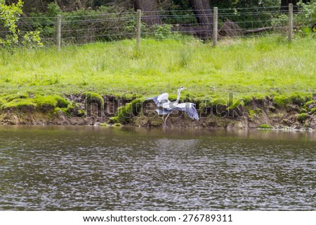 Grey Heron (Ardea cinerea) coming in to land  - stock photo
