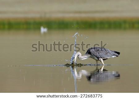 Grey Heron (Ardea cinerea) during Fishing on Manych lake, Kalmykia, Russia  - stock photo