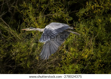 Grey Heron, ardea cinerea, flying from a tree - stock photo