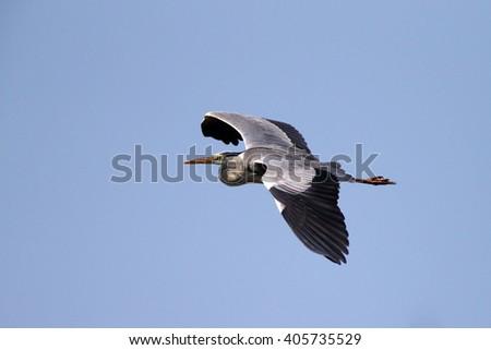 Grey Heron (Ardea cinerea) in flight - stock photo