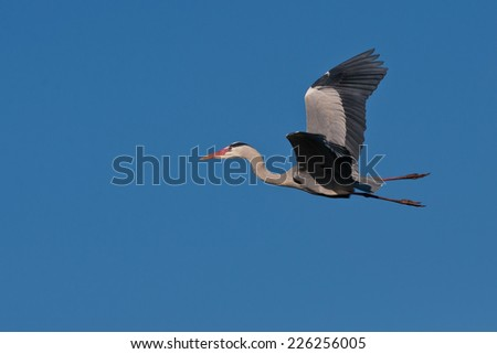 Grey heron (Ardea cinerea) in flight ~ Kruger National Park, South Africa - stock photo