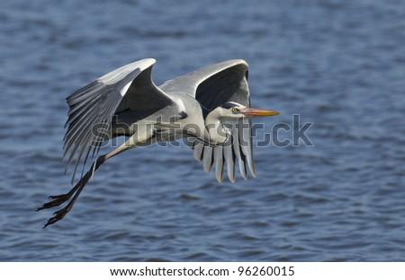 Grey Heron (Ardea cinerea) in flight, Kruger Park, South Africa - stock photo