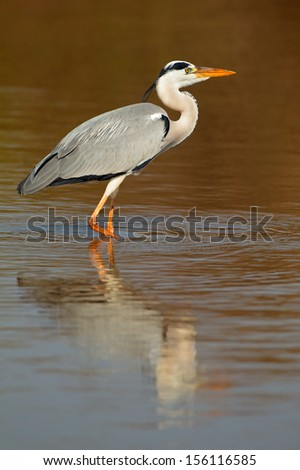Grey heron (Ardea cinerea) in water with reflection, South Africa  - stock photo