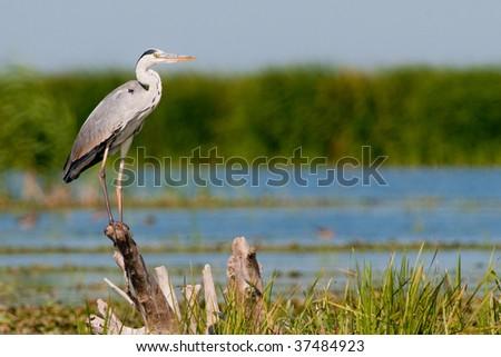 Grey Heron (Ardea cinerea) on a log - stock photo