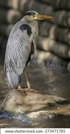 Grey Heron, ardea cinerea on a rock  - stock photo