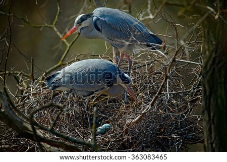 Grey heron, Ardea cinerea, pair of water birds in nest with eggs, nesting time, animal behaviour in the nature tree habitat, central Europe - stock photo