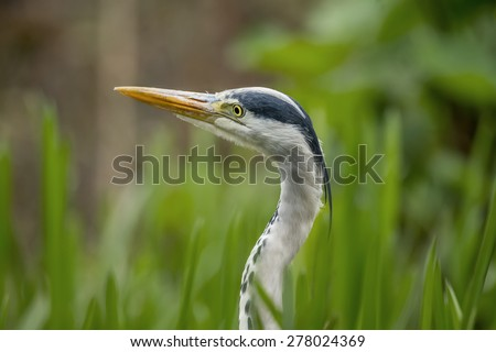 Grey Heron ,ardea cinerea, portrait - stock photo