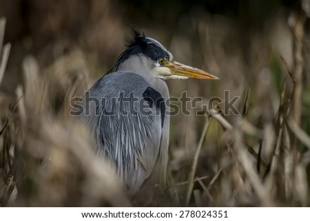 Grey Heron, ardea cinerea, sitting amongst some reeds - stock photo
