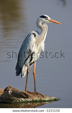 Grey Heron : Ardea Cinerea : South Africa - stock photo