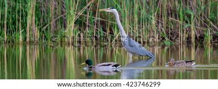 Grey heron (Ardea cinerea) together with mallard wild ducks in the pond - stock photo