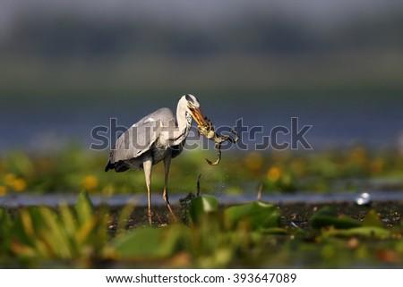 Grey Heron (Ardea cinerea) with prey - stock photo