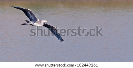 Grey Heron Bird, Ardea cinerea, in flight. Gliding over water. Landing near the edge of a large fishing pond with it's both wings spread, soaring, copy space
