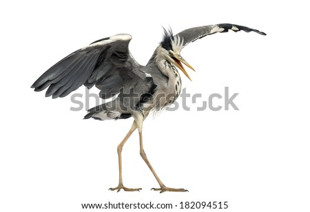 Grey Heron doing a mating dance, Ardea Cinerea, 5 years old, isolated on white - stock photo
