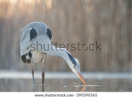 Grey heron fishing in the pond, closeup, beak in the water, clean background, Hungary, Europe - stock photo