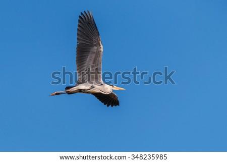 Grey heron flying - stock photo