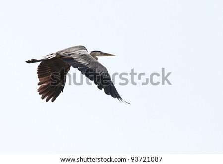 Grey heron flying in Florida - stock photo