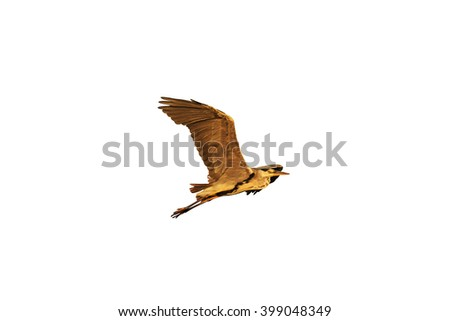 Grey heron flying isolated on white,Grey heron flying at sunrise, bird flying against the sky - stock photo