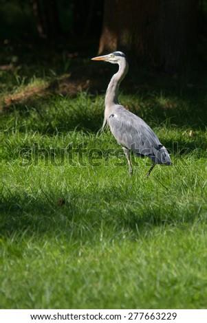 Grey heron hunting at riverside - stock photo