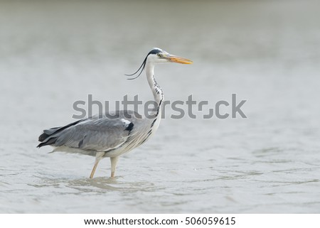 Grey heron hunting in a lake
