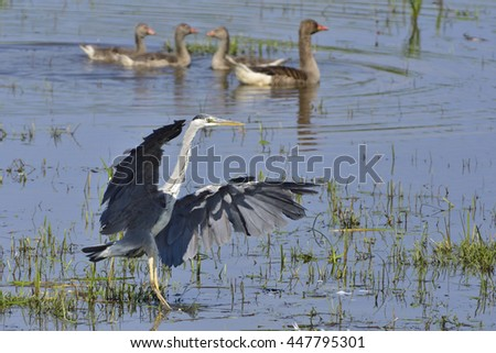 Grey heron in a lake  - stock photo