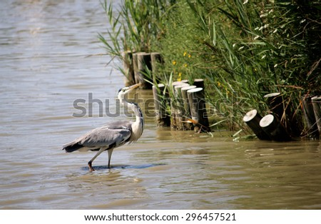 Grey heron in Camargue, south of France - stock photo
