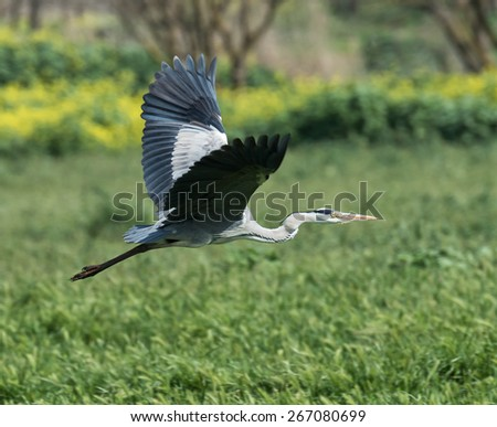 Grey heron in Flight - stock photo