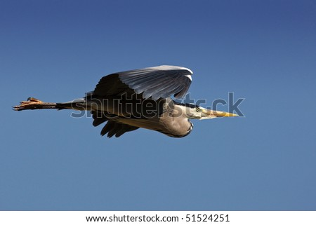 Grey Heron in flight against a clear blue sky - stock photo