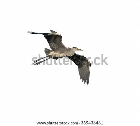 Grey Heron in Flight on White Background, Isolated - stock photo