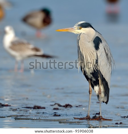 grey heron in natural habitat (ardea cinerea) - stock photo