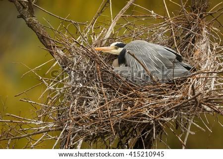 grey heron in the nest - stock photo