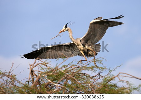 Grey Heron lands, with open wings and a branch in its beak for building a nest on a tree - stock photo