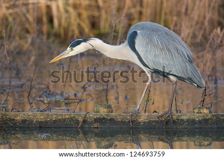 Grey Heron looking for a fish. - stock photo