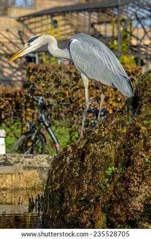 Grey Heron on a mossy rock - stock photo