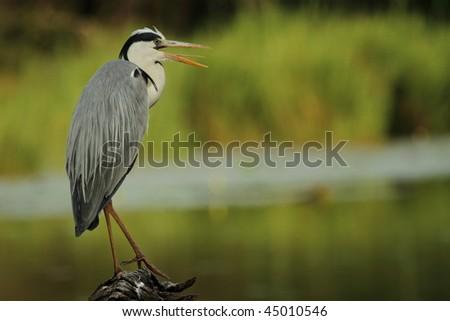 Grey Heron on log - stock photo