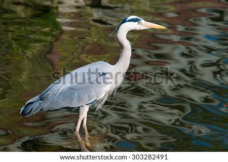 Grey heron on the water - stock photo