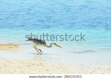 Grey heron patiently waiting and aiming for prey in the shallow water at the beach - stock photo