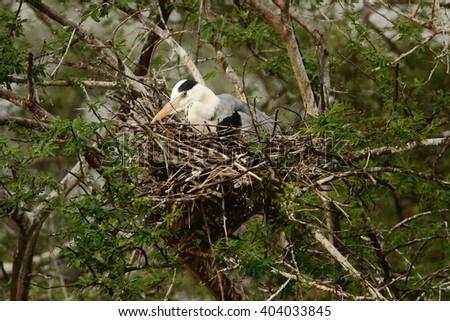 grey heron sitting on a nest - stock photo