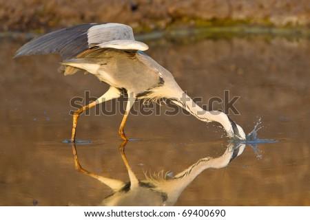 Grey Heron, South Africa - stock photo