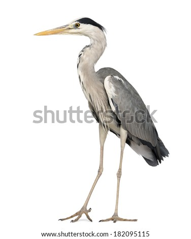 Grey Heron standing, Ardea Cinerea, 5 years old, isolated on white - stock photo