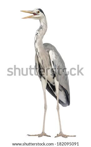 Grey Heron standing, beak opened, Ardea Cinerea, 5 years old, isolated on white - stock photo