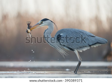 Grey heron standing in the water with big fish in the beak, clean  background, Hungary, Europe - stock photo