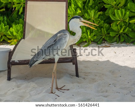 Grey Heron stands on the beach chair  with green trees on the background in maldives