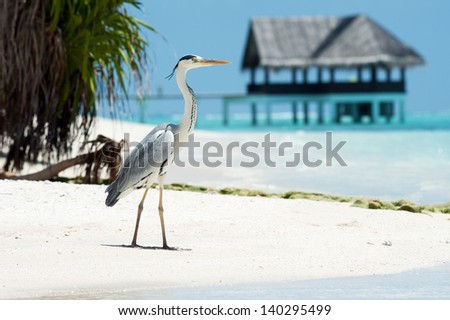 Grey Heron stands on the beach near the sea with the house on the background - stock photo